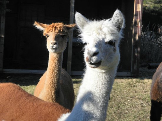 Amuri Estate Retreat: Llamas