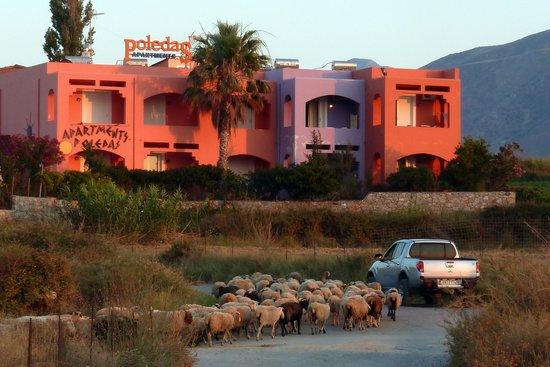 Ermioni Beach Hotel: die Schafe gehen abends schlafen, nachts sind die weg