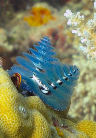 Christmas Tree Worm.Blue Christmas Tree Worm Picture Of Big Blue Scuba Diving