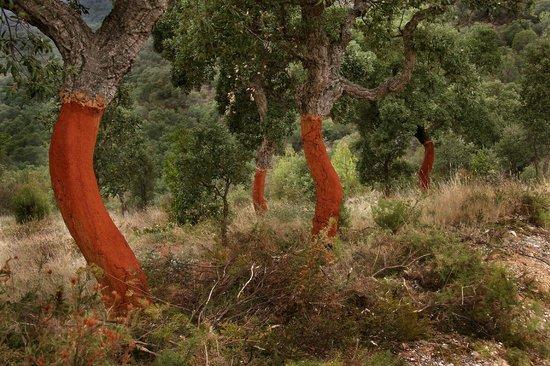 Office Du Tourisme Aspres Thuir: Forêt de chêne liège