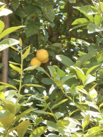 Dina Apartments: Lemon tree in the garden