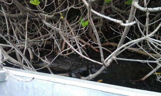 Jungle Erv's Everglades Airboat Tours : do you see him?