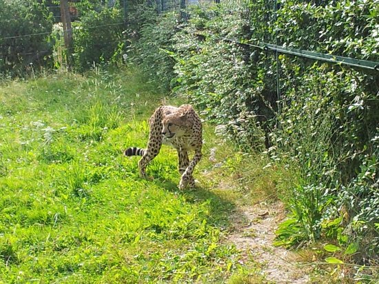 gepard - bild von opel zoo, kronberg im taunus - tripadvisor