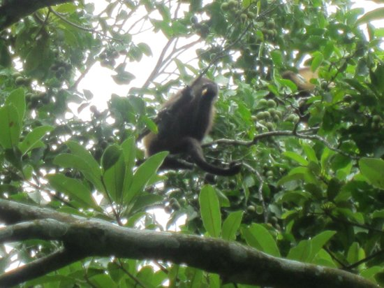 Painted Pony Horse Tours : Howler monkeys right over our heads!