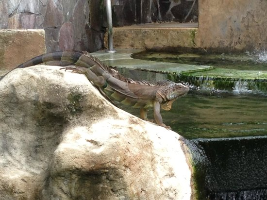 The Royal Corin Thermal Water Spa & Resort: Iguana by one of the hot springs jacuzzis