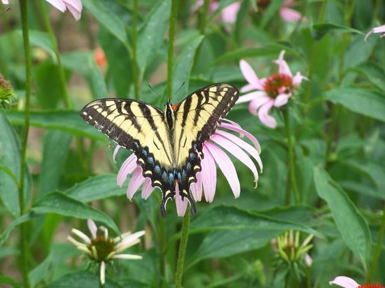 Old Sturbridge Village: Butterfly in the garden