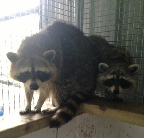 Omagh, UK: Raccoons