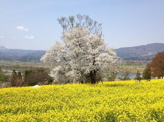 Iiyama, Japan: 菜の花と共に桜も咲いていました