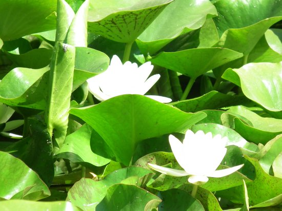 Fleurs sur la mare picture of jardin des plantes for Jardin 63