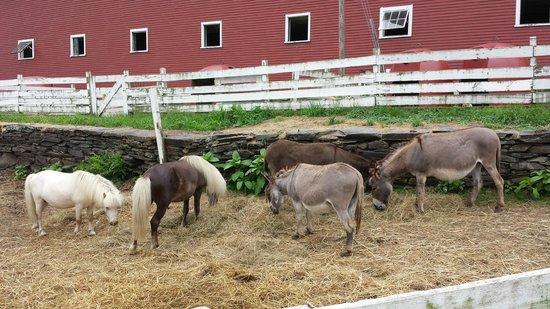Grafton Village Cheese: animals in farm besides cheese store