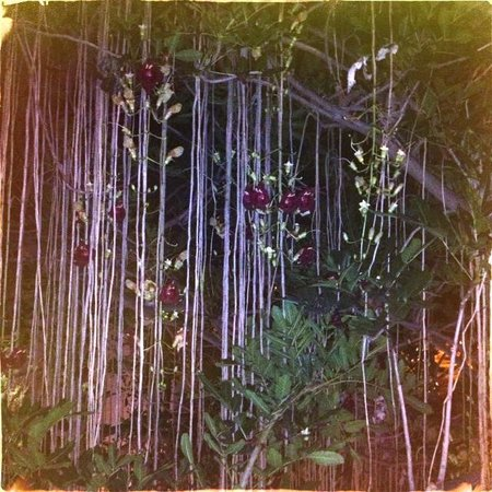 Casa De Palmas Renaissance McAllen Hotel : Hugh sausage tree (only blooms at night)