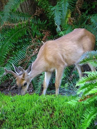 Bostrom's B&B On Little Beach Bay : Deer on the front drive (1)