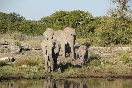 Halali Resort: Elephants near Hallali