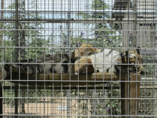 Forever Wild Exotic Animal Sanctuary: Lazy napping.