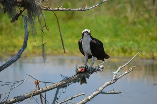 Marsh Beast Airboat Tours : Osprey with fresh catch !
