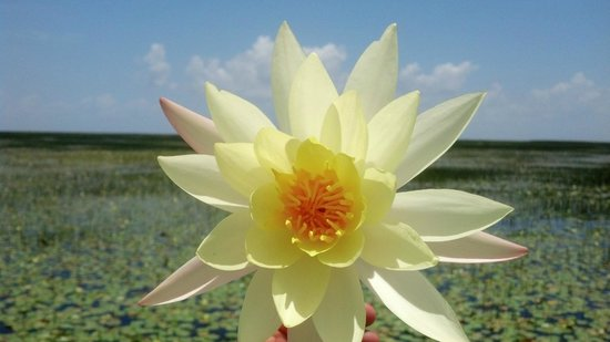 Marsh Beast Airboat Tours : Gorgeous Water Lilies !