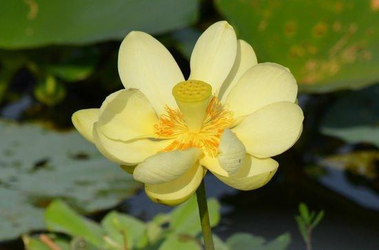 Marsh Beast Airboat Tours : Lotus in bloom !