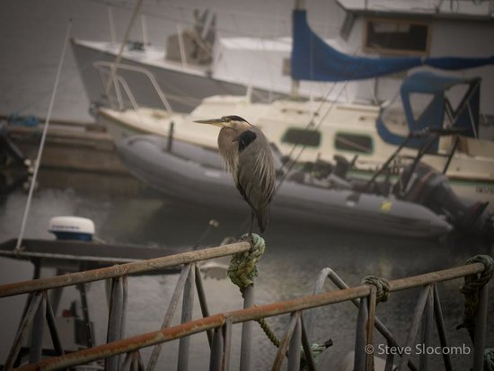 Tofino Swell Lodge: a blue heron on the ramp to the dock