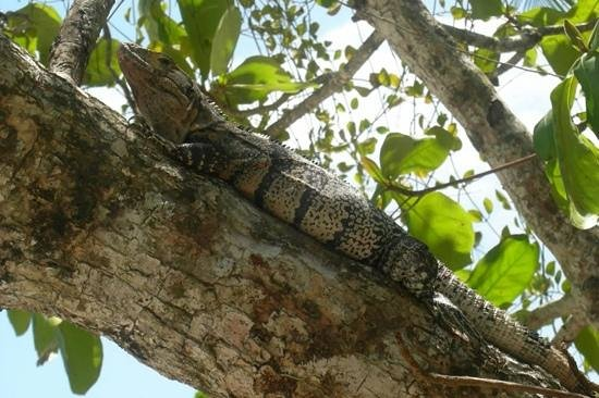 La Mariposa Hotel: iguana friend