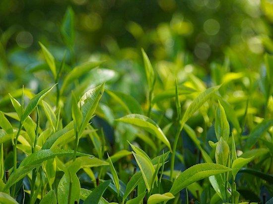 Niyagama House: Tealeaves