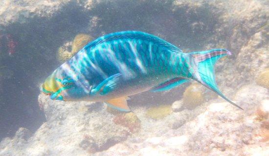 Church Bay: queen angelfish, terminal phase