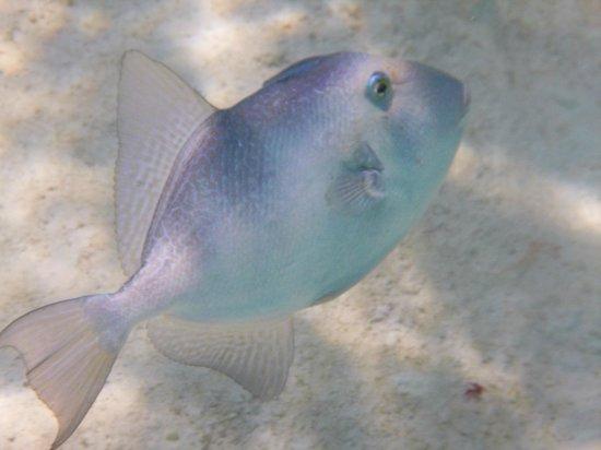 Church Bay: grey triggerfish