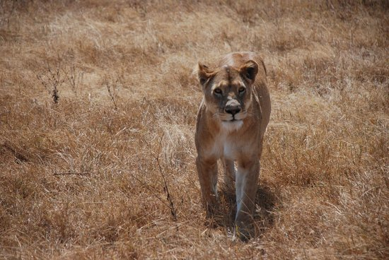 andBeyond Ngorongoro Crater Lodge: Lioness in the crater