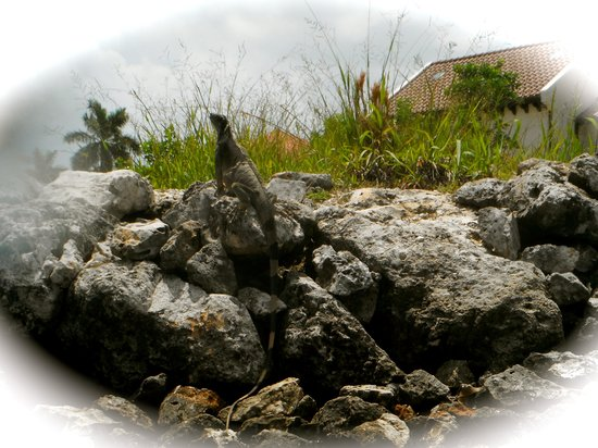 Sea Elements: Stately Iguanas