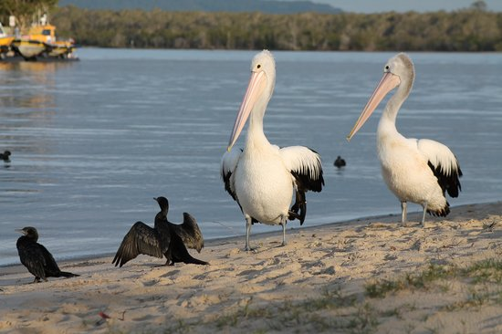 Culgoa Point Beach Resort: Pelicans on your 'private' beach