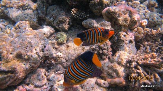 Biyadhoo Island Resort: underwaret Biyadhoo reef 8