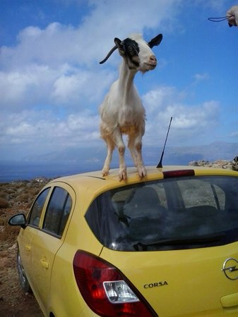 Balos Lagoon : Goats love the parked cars.