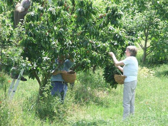 Agriturismo  Podere PratoVecchio: A giugno ciliegie a volontà