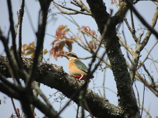 Cocoon Hills: Indian Pitta in nearby Victoria Gardens