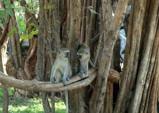 Kapani Lodge - Norman Carr Safaris: Monkeys in Camp