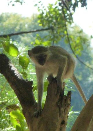 Kapani Lodge - Norman Carr Safaris: Monkey in Camp