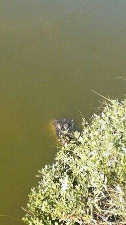 Laguna Madre Nature Trail : alligator in water, next to trail/walkway