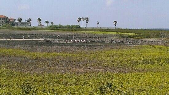 Laguna Madre Nature Trail : flamingos