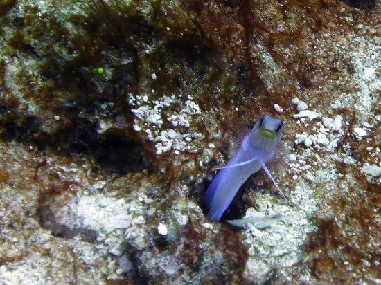 Zatoka Simpson, Sint Maarten: Jawfish