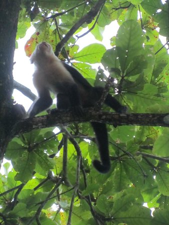 Ylang Ylang Beach Resort: Monkey on grounds