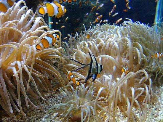 Oceanographic Museum of Monaco: Clownvisjes