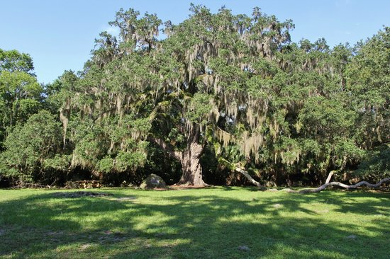 Bulow Creek State Park: Fairchild Oak - 2000+ years old