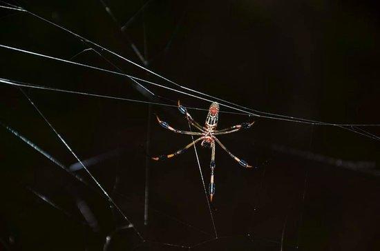 Skidaway Island State Park : Banana spider