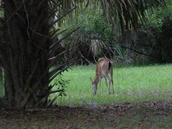 Skidaway Island State Park : Deer