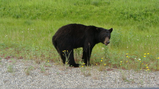 Alaska Highway: Black Bear next to Hwy.
