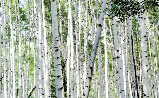 Three Rivers Resort: Aspens in Gunnison National Forest