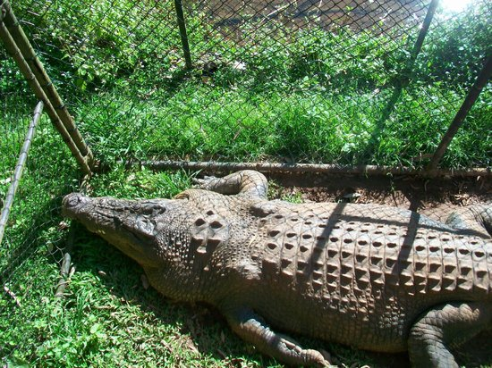 Rainforestation Nature Park: Jack the Ripper killed 13 other crocodiles
