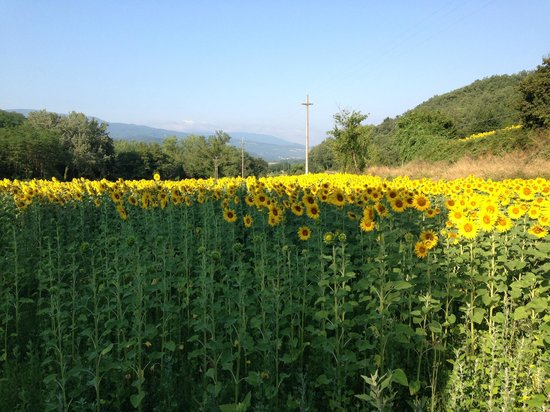 Agriturismo Attulaio: Sunflowers down the road