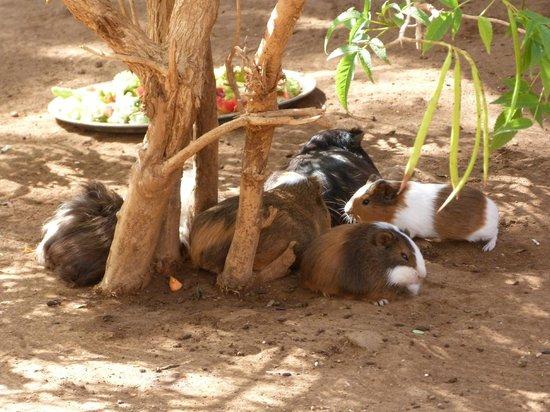Monkey Park: Cute guinea pigs