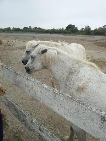 Le Petit Train Camarguais : i cavalli bianchi sono mansueti e si lasciano accarezzare !