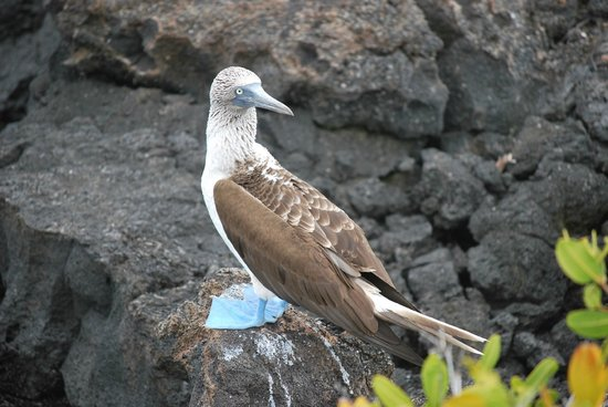 Row Adventures: Blue Footed Booby